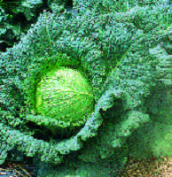 TIME FOR WINTER CABBAGES