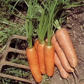carrot vegetable seeds section